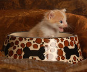 Kitten sitting in a pet food dish — Stock Photo