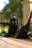 American cocker spaniel puppy sitting on a park bench — Stock Photo