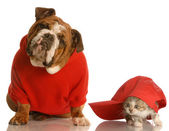 English bulldog in red sweater and kitten — Stock Photo