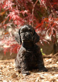 American cocker spaniel puppy sitting in outdoor setting — Stock Photo