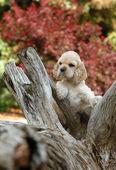 Amerikaanse cocker spaniel puppy staande een een stuk van woo — Stockfoto