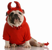 English bulldog dressed up as a devil — Stock Photo
