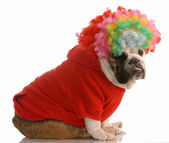 English bulldog dressed up as a clown — Stock Photo