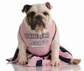 English bulldog dressed up as a cheerleader — Stock Photo