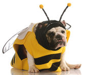 English bulldog dressed up as a bee on white background — Stock Photo