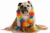 English bulldog dressed up as a hula dancer — Stock Photo