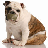 English bulldog with tape on mouth — Stock Photo