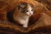 Drie weken oude katje spelen onder bruine weefsel — Stockfoto