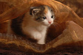 Three week old kitten playing underneath brown fabric — Stock Photo