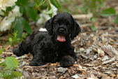 Cocker spaniel puppy outside in the garden — Stok fotoğraf