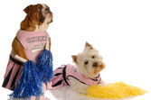 English bulldog and west highland white terrier — Stock Photo