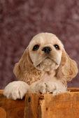American cocker spaniel puppy — Stock Photo