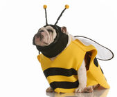 English bulldog dressed up as a bee — Fotografia Stock