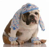 Funny english bulldog dressed in winter hat scarf and leg warmers — Stok fotoğraf