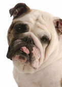 English bulldog with tongue sticking — Стоковое фото