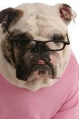 Female english bulldog wearing reading glasses — Stock Photo