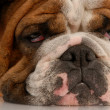 Royalty-Free Stock Photo: Close up of ugly english bulldog with sad droopy eyes