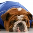 English bulldog wearing blue sweater sleeping — Stock Photo