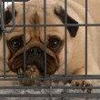 Pug in a wire dog crate looking out a viewer - 