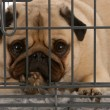 Pug in a wire dog crate looking out a viewer - Foto Stock