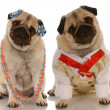 Adorable pugs dressed up as a couple — Stock Photo