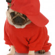 Adorable pug wearing red shirt and sports cap — Stock Photo #24176605