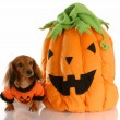 Long haired dachshund dressed up with halloween pumpkin - Foto de Stock  