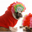 Stock Photo: English bulldog and pug dressed up as clowns