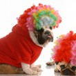 English bulldog and pug dressed up as clowns — Stock Photo