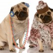 Two pug girlfriends dressed up in fashionable clothing — Stock Photo