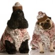 Two dog girlfriends dressed up in fashionable clothing — Stock Photo