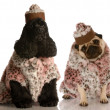 Two dog girlfriends dressed up in fashionable clothing — Stock Photo #24177121