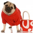 Pug wearing red sweater standing beside fashionable red purse - Stok fotoğraf