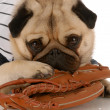 Stock Photo: Pug dog wearing baseball jersey with ball glove