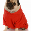 Fawn pug wearing red dog sweater — Stock Photo #24177413