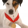 Jack russel terrier with award winning medal around neck — Stock Photo