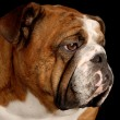 Red brindle english bulldog portrait — Stock Photo