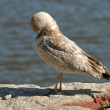 Seagull cleaning on a rock by the water&#039;s edge - Stock Photo