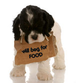 American cocker spaniel puppy with sign around neck — Stock Photo
