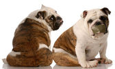Two english bulldogs having an argument — Stock Photo
