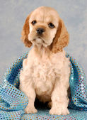 Buff american cocker spaniel puppy sitting under blanket — Stock Photo