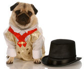 Pug dressed up in formal wear with top hat — Stock Photo
