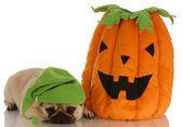 Pug laying beside stuffed pumpkin — Stock Photo