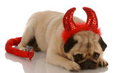 Pug dressed up as a devil with guilty expression — Stock Photo