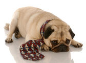 Pug dressed up wearing a mans dress tie — Stock Photo