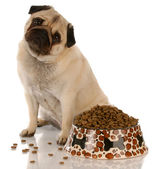 Pug sitting beside a full bowl of dog food — Stock Photo
