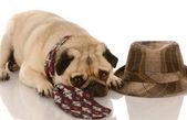 Pug wearing mens tie laying beside fedora — Stock Photo