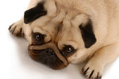 Pug - looking up at viewer — Stock Photo