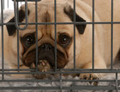 Pug in a wire dog crate looking out a viewer — Stock Photo