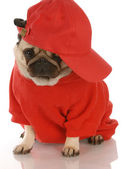 Adorable pug wearing red shirt and sports cap — Stock Photo